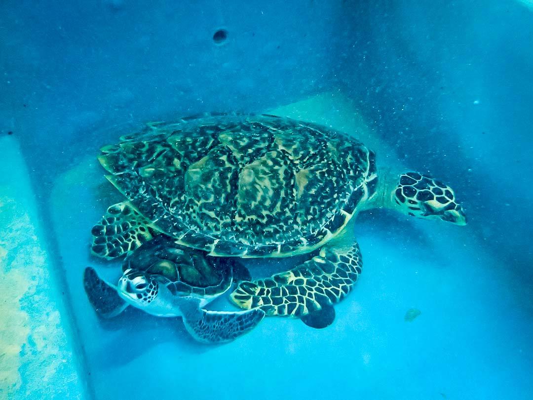 Flora - Vilingili cuddling sea turtle conservation Maldives Marine Savers