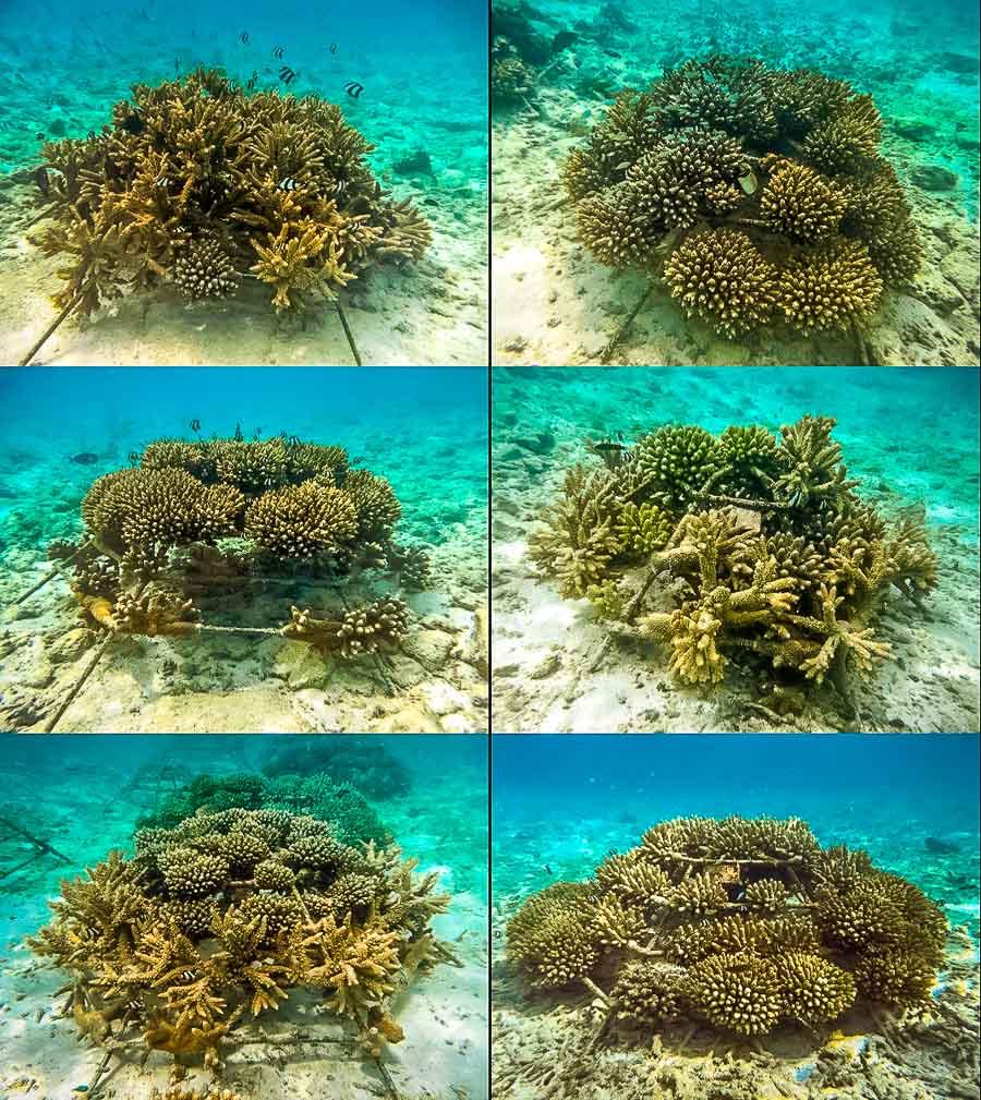 Coral Frames at Water Villa 300 (2.5yrs old) - Landaa Giraavaru Reefscapers project