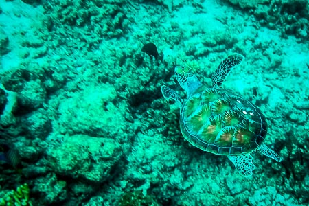 Coral our reared green turtle swimming free