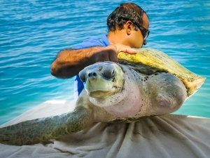 OSSY release day – rescue turtle – Marine Savers Maldives (Ossy)