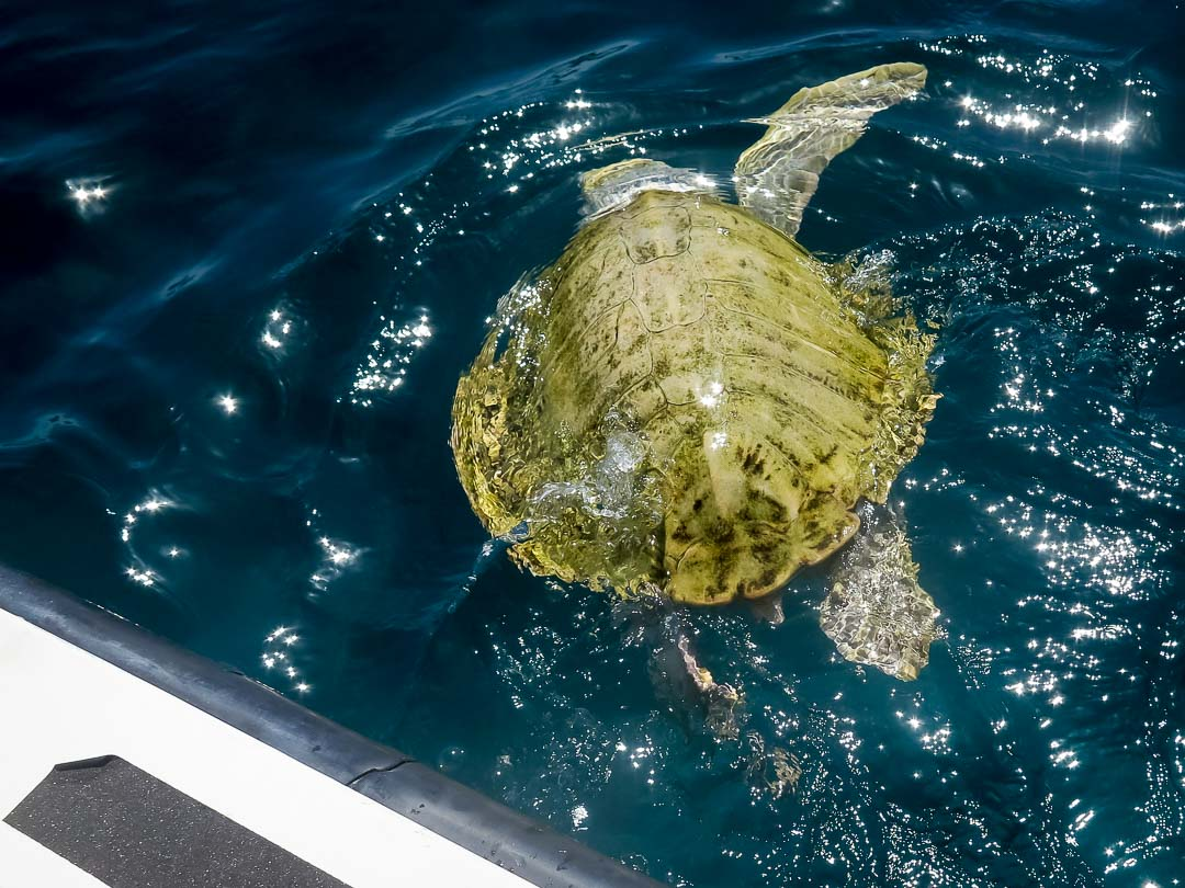OSSY release day - rescue turtle - Marine Savers Maldives