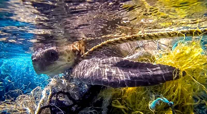 Akua tangled in a ghost net before being rescued
