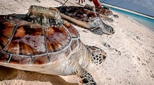 Kuda Huraa-born Turtles Released Back to the Wild
