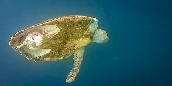 Jessica, our 1-flippered rescue turtle, released back into the ocean
