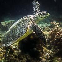 Wild Hawksbill turtle HK152 at Madhirivaadhoo