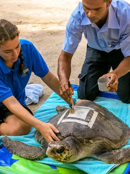 Fixing a satellite tag to Akua's carapace