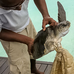 Casey the rescued Olive Ridley turtle