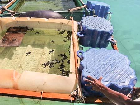 Feydhoo Finolhu turtle hatchling rearing facility