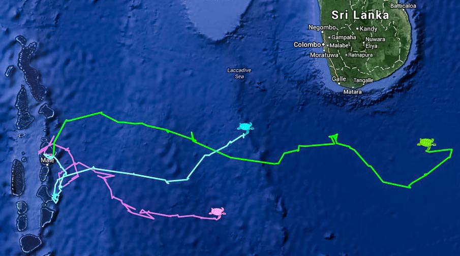 Turtle satellite tracking map, plotting the progress of our 3 green turtles - Alfred, Bailey, Malou