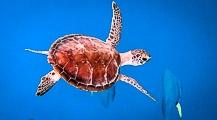 Kuda Huraa's Turtle Conservation Projects