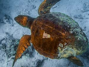 Loggerhead – first in our database (Lagoon Nursery, Niyama)-2 [ID 2013.12] HQ (Maldivian Turtles – ID Programme & Workshop)