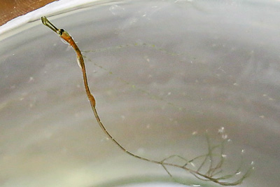 Unknown Syngnathidae, full length