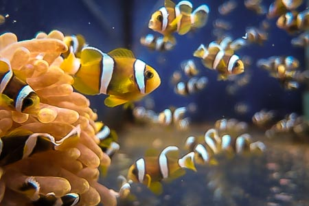 Maldivian Clownfish juveniles at 1 month