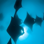Mantas in silhouette