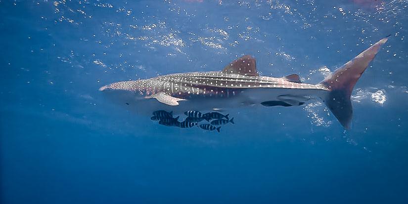 Whale shark juvenile (1.5m) - rare sighting (at Gaamadhoo, N.Male atoll, Maldives)