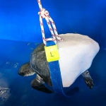 Pete - Olive Ridley rescue turtle - sling lower