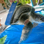 Pete - Olive Ridley rescue turtle - sling