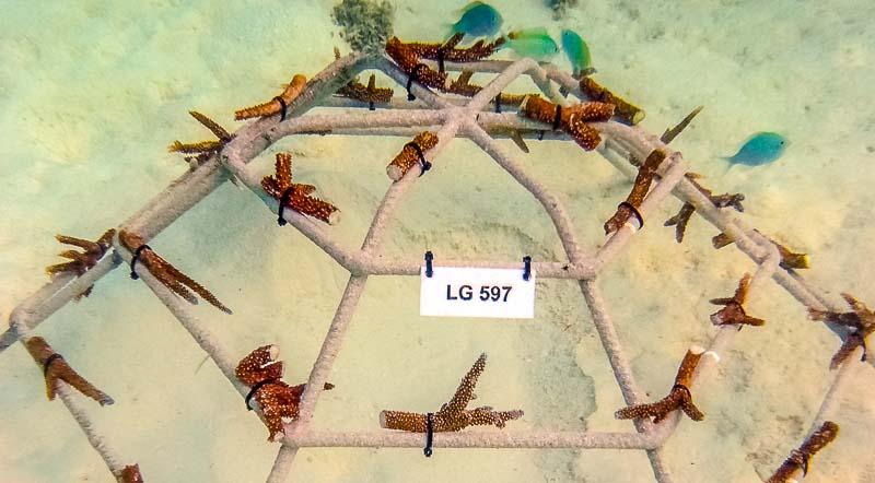 Coral Frame - LG597