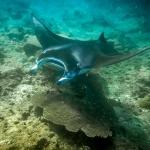 Manta ray, (in Rangali, Ari Atoll)