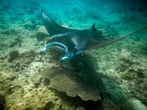 Manta ray, (in Rangali, Ari Atoll) (Life & Death at the Fish Lab)