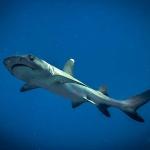 Whitetip reef shark (Trianodon obesus)