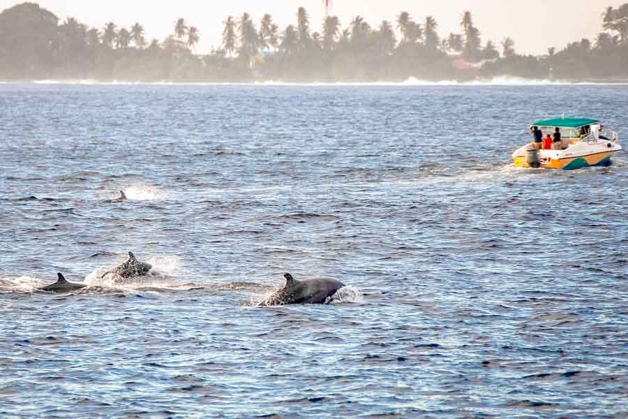 A Pod of False Killer Whales - quite a common sight between the islands of the Maldives