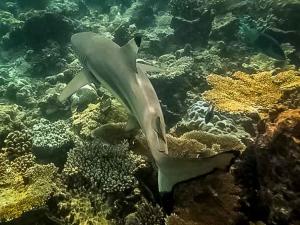Black tip Reef Shark (Bandos house reef)