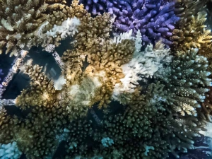 Coral Bleaching of Acropora hyacinthus (Reefscapers v Snails !)