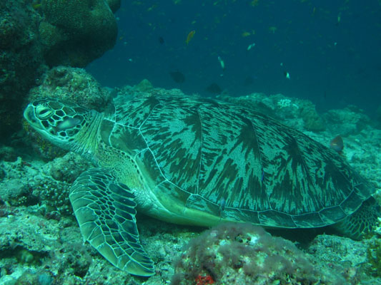 Dhonfan reef - Green turtle GR1 Peach