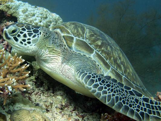 Dhonfan reef - Green turtle GR6 Kiwi