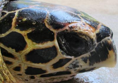 Dhonfan reef - Hawksbill turtle HK27 Hookah - hook removed