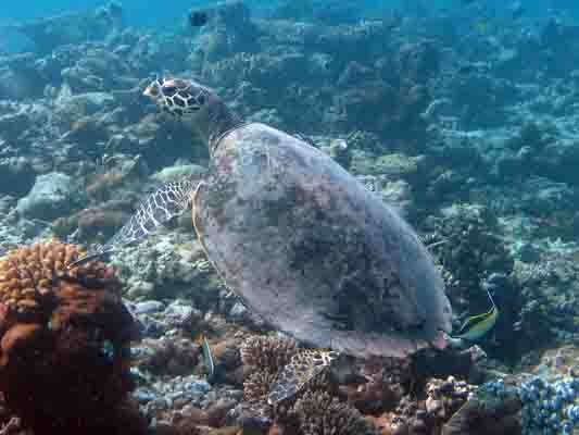 Dhonfan reef - Hawksbill turtle HK27 Hookah - swimming wild again