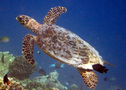 Finolhas reef - Hawksbill turtle HK1 Lulu in 2012