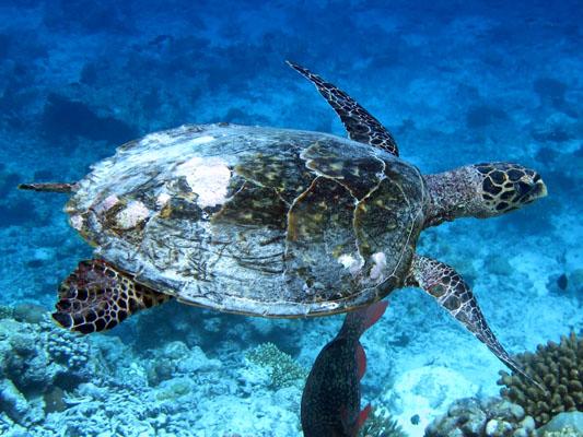 Finolhas reef - Hawksbill turtle HK1 Lulu 2014