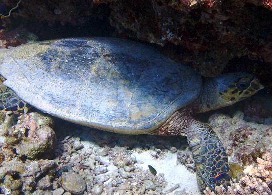 Finolhas reef - Hawksbill turtle HK105 Oscar