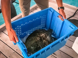 Nao the Hawksbill turtle was found floating (Island Diary – May)