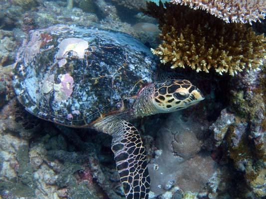 Voavah reef - HK58 Coralline