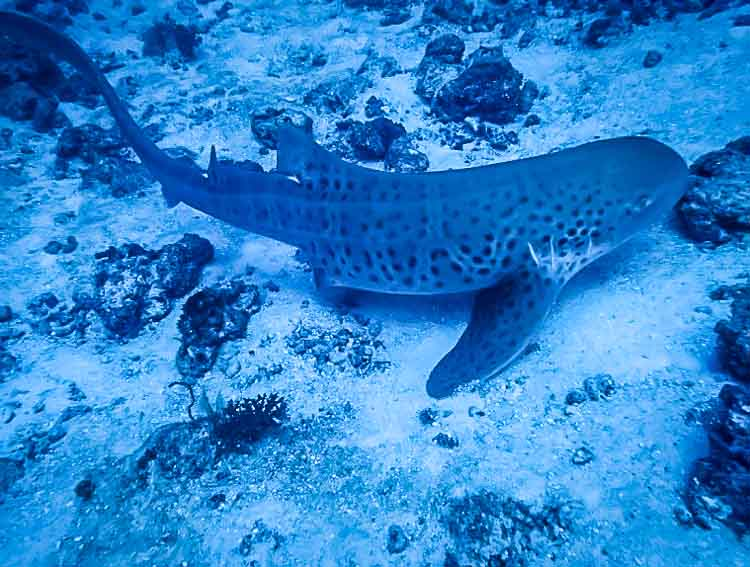 Zebra Shark at Coral Gardens