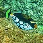 Clown Triggerfish at Coral Gardens