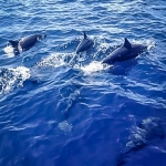 Spinner Dolphins at Reethi Beach lagoon
