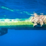 Jesse our Olive Ridley rescue turtle - gently into the water