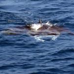 Manta ray feeding at the surface