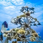 Marine Life - School of Batfish at the Xmas Tree coral frame