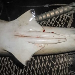 Safari - Black Tip Reef Shark - claspers