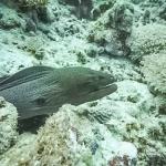Safari - Giant Moray Eel