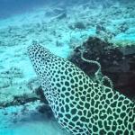Safari - Honeycomb Moray Eel