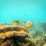 Butterfly fish at Coral Garden