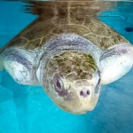 Elsa - rescued Olive Ridley turtle, observation tank