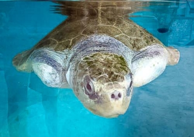 Elsa - rescued Olive Ridley turtle, observation tank