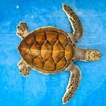 Green Turtle #1
